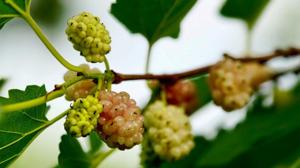 Morwa  biała – suplement diety czy owoc